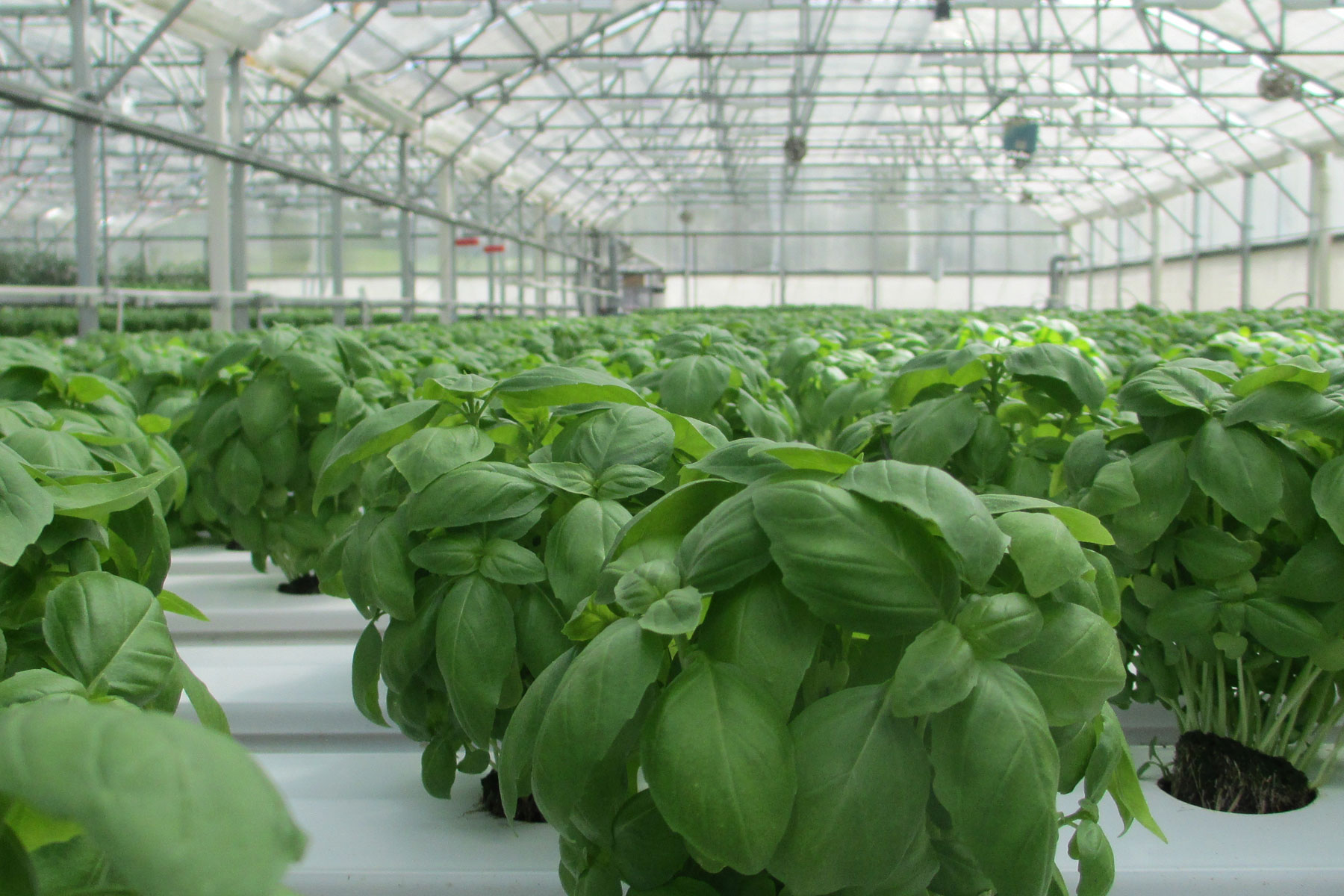 Greenhouse view of basil image