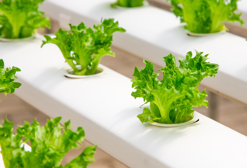 Hydroponic image of lettuce